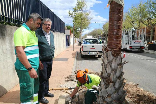 El Ayuntamiento cambia los plátanos de sombra de la Avenida de la Constitución por palmeras