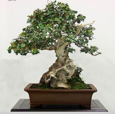 XXV Muestra de Primavera de Bonsai y Suiseki