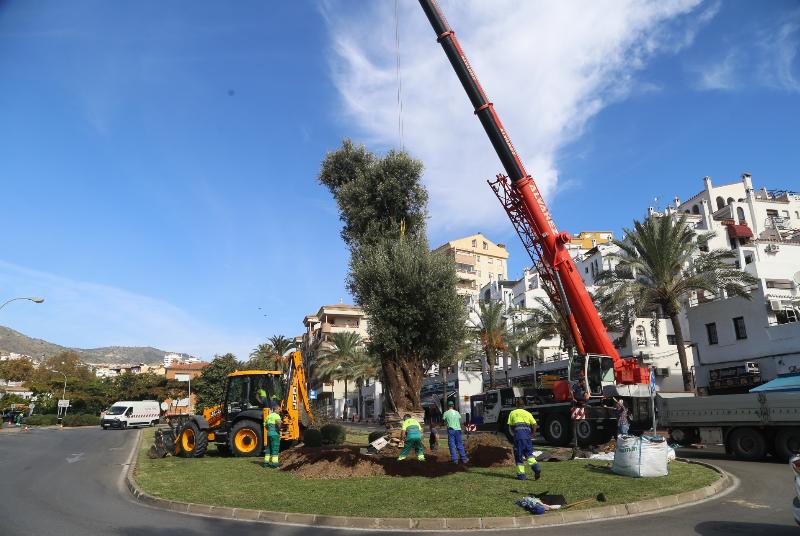 El Ayuntamiento planta un olivo de 16 metros y más de 600 años para embellecer la glorieta frente al Club de la Raqueta